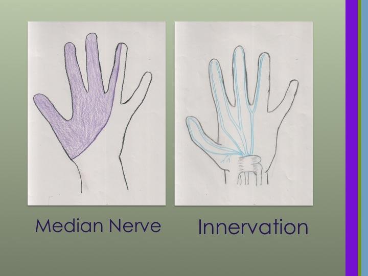 CTS Median Nerve Innervation